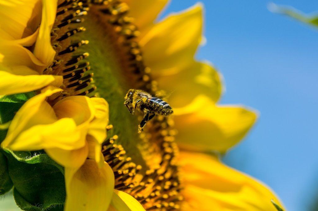 Biene, Pestizide, Bienensterben, Neonicotinoide